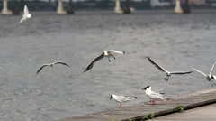 Seagulls flying near the river Stock Footage