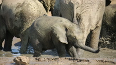 Playful baby African elephant, Addo Elephant National Park, South Africa - stock footage