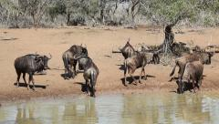 Wildebeest at the waterhole, Mkuze game reserve, South Africa Stock Footage