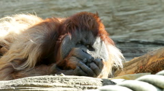 An orangutan male is calm observing his domain. Stock Footage