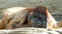 An orangutan male, chief of the monkey family, is lying on rocky background Stock Footage