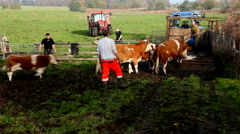 Moving the cattle around Stock Footage