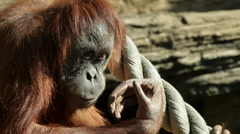 An orangutan female close up, side view, is sitting on sunlit rocky background Stock Footage
