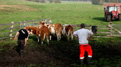The cattle herd is not ready to leave the nice green field for the vinter period Stock Footage