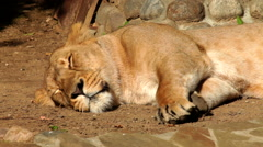 Awakening of a young lioness, sleeping on sunny background. - stock footage