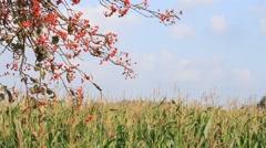 Rowan berries at cornfield Stock Footage