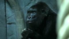 Fight against running nose in animal style of a gorilla female. Stock Footage