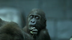 A gorilla baby, sitting on his mother, is eating a bit of cabbage. Stock Footage