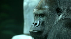 Eye contact with a gorilla male, severe silverback, chief of the primate family. Stock Footage
