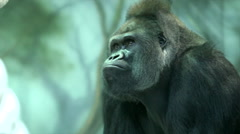 A gorilla male is lying and calm observing his domain. Stock Footage