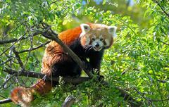 The red panda - stock photo