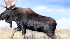 Wild Bull Moose Walking in Field - stock footage