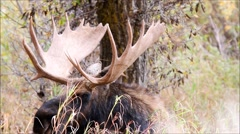 Old Bull Moose Resting in Tall Grass - stock footage