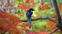 Bird and autumn leaves Stock Footage