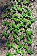 Ivy ordinary or ivy climbing Stock Photos