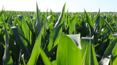 Corn field against trees and the sky. This video is also in my portfolio HD Stock Footage