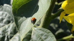 Ladybug on a leaf of a sunflower, macro. This video is also in 1920x1080. Stock Footage
