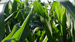 Corn field, small wind. This video is also in my portfolio in the HD format. - stock footage