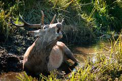 Majestic bull take a bath Stock Photos