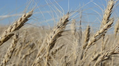Wheat against the sky. This video is also in my portfolio in the HD format. Stock Footage