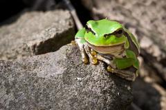 curiosity green frog on a rock - stock photo