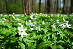 white anemones in forest - stock photo