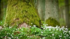 mossy old tree and windflower in forest - stock photo