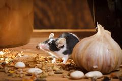 Small mouse smell something in basement Stock Photos
