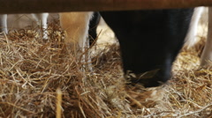 Calf eating hay Stock Footage