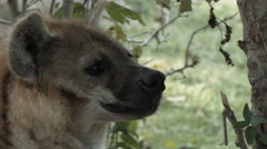 Close up of a spotted hyena Stock Footage
