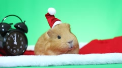 Funny speaking guinea pig in a Santa Claus hat Stock Footage