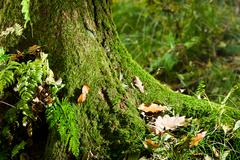mossy tree in forest in autumn at morning - stock photo