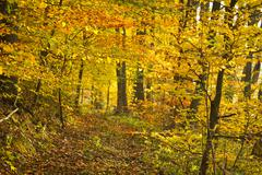 golden footpath in the forest at autumn - stock photo