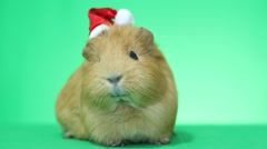 Guinea pig in a Santa Claus hat Stock Footage