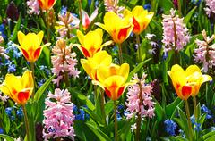spring yellow-red tulips and pink hyacinths close-up. - stock photo