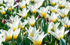 Beautiful white tulips close-up. Stock Photos