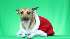 Dog dressed in Christmas clothes Stock Footage