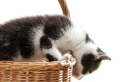 little kitten is trying to get out of the basket - stock photo