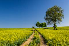rape field with trees on blue sky background - stock photo