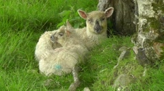 Two lambs lying close to each other and are chewing Stock Footage