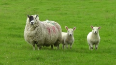 Sheep with two lambs looking at camera and starts chewing Stock Footage