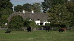 Cows on swan green in front of thatched cottages in new forest, england Stock Footage