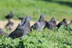 pigeons in the green grass - stock photo
