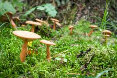 inedible mushrooms in the mossy forest - stock photo