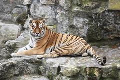 Siberian tiger in his territory Stock Photos