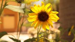 Sunflower on a sunny day Stock Footage