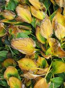 Faded yellow green plant leaves in autumn - stock photo