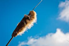 closeup cattail on blue sky background - stock photo