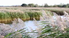 Reeds Blowing in the Wind at Ham Wall RSPB Wetlands with Glastonbury Tor Stock Footage