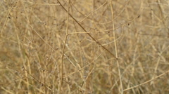 Dry branches of bushes.This video is also in my portfolio in the HD format. Stock Footage